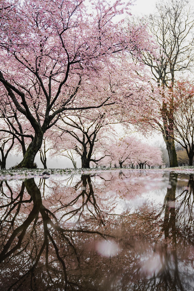 philadelphia-cherry-blossoms